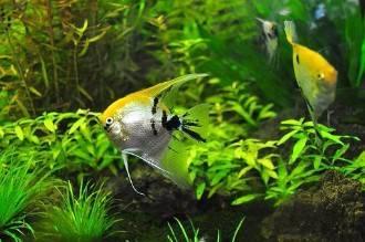 Водоросли в аквариуме:  как избавиться от неприятного коричневого и бурого налёта, а также чёрной бороды