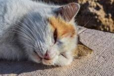Тепловой удар у котов