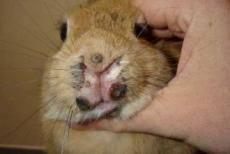 Миксоматоз кроликов лечение