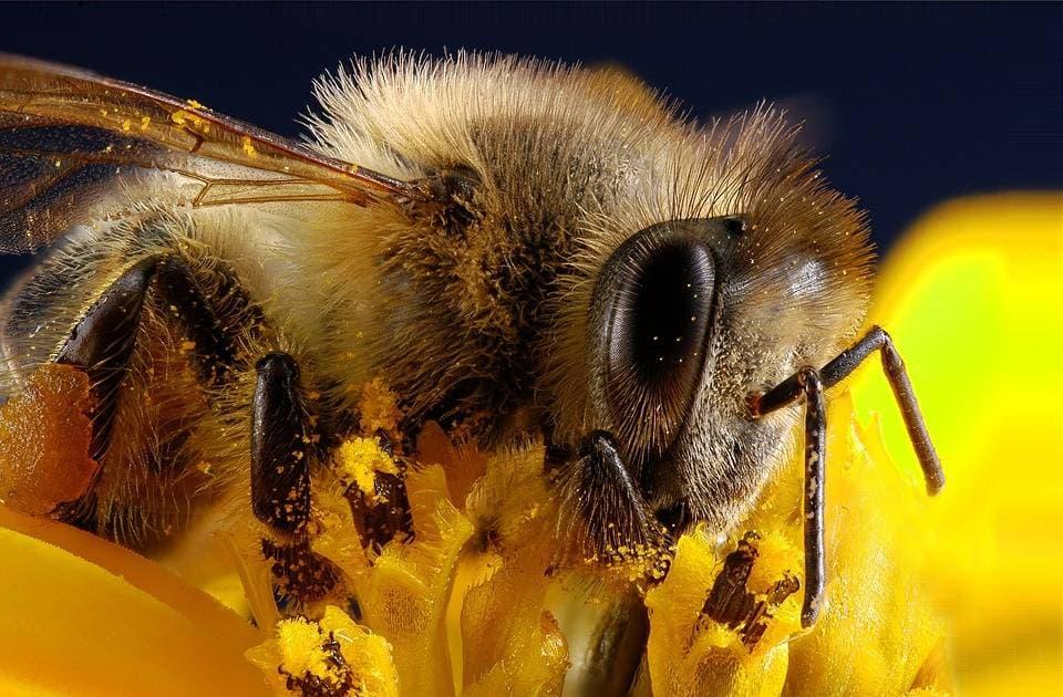 Пыльца на лапках пчелы
