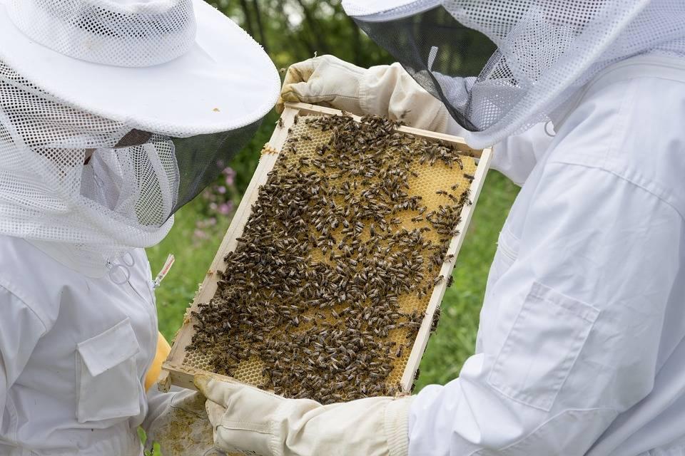 Осмотр пчелиных сотов