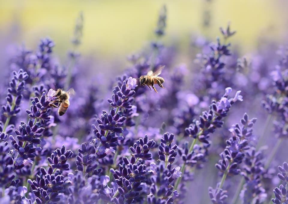 Пчелы медоносы