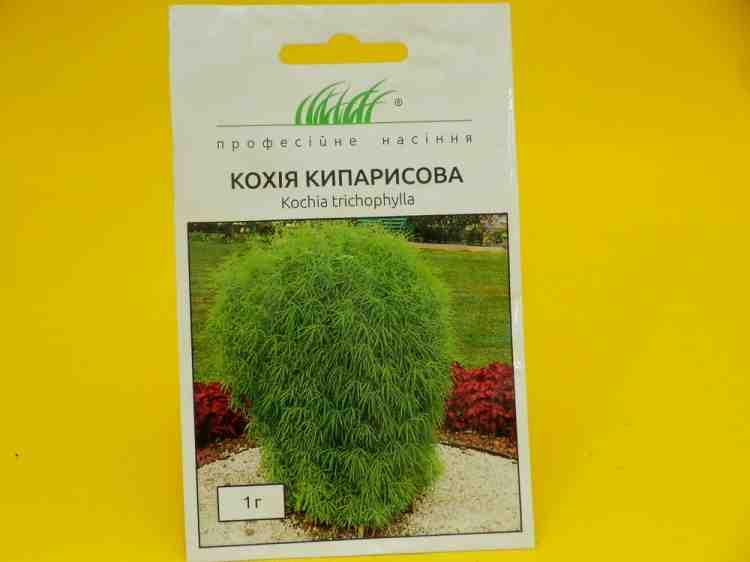 Семена кохии  кипарисовой