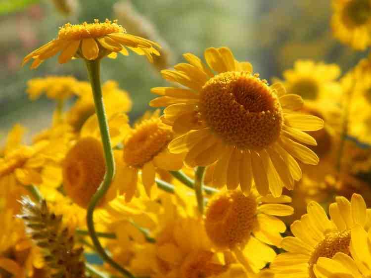 Семена ромашки садовой большой желтой