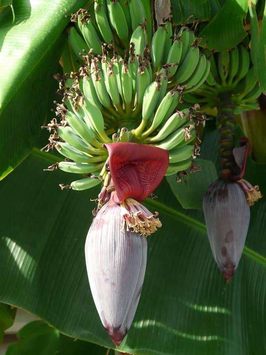 Комнатный банан цветы