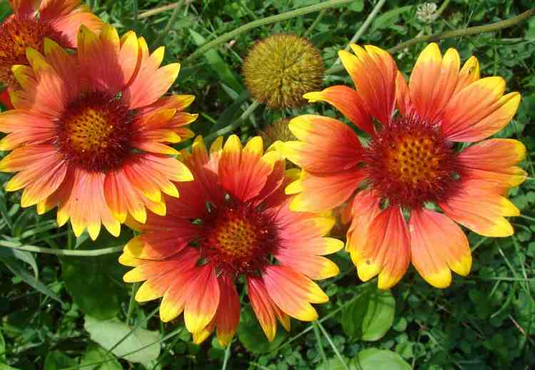 Семена гайлардии крупноцветковой