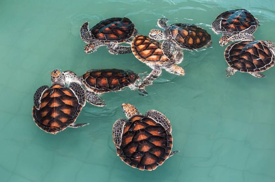 водные черепашки