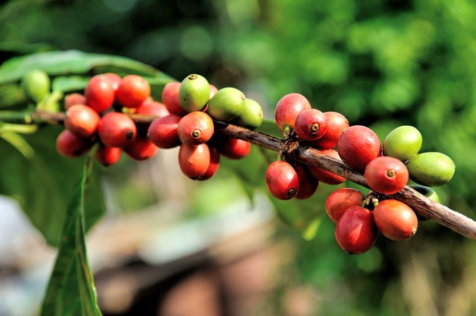 Кофейное дерево плоды