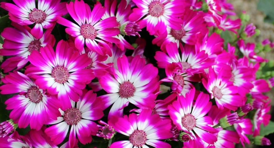 Цинерария - удивительный цветок