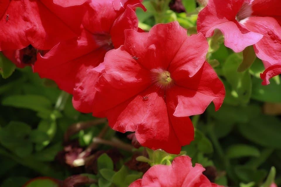 Мамбо красная пеиуния