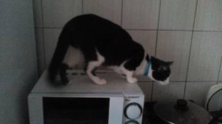 Ошейник Эффектвет на кошке