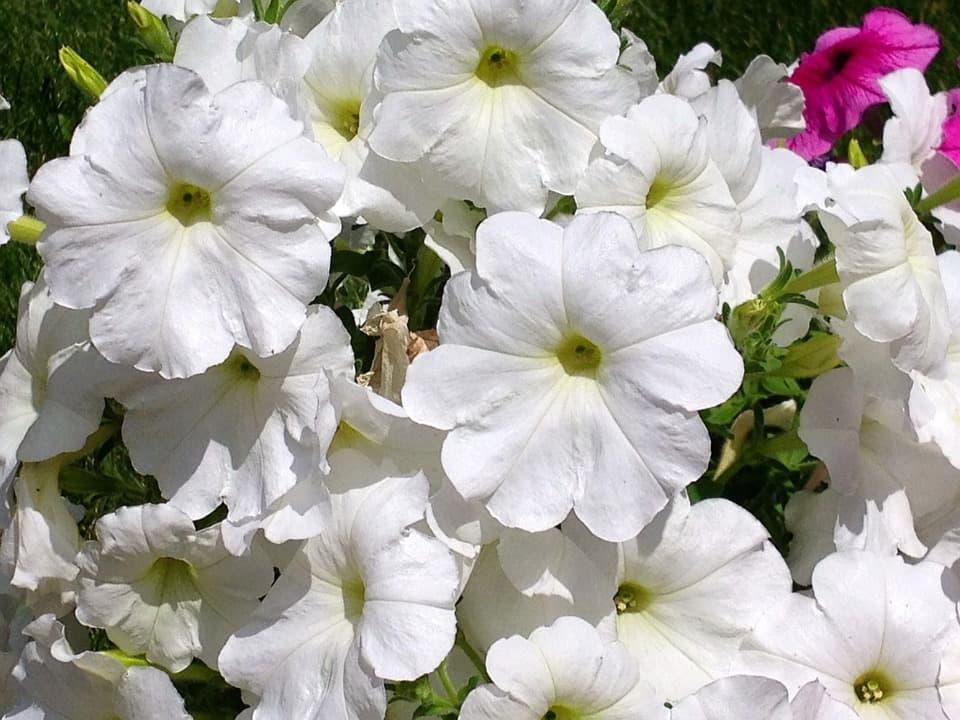 Петуния Лавина белая