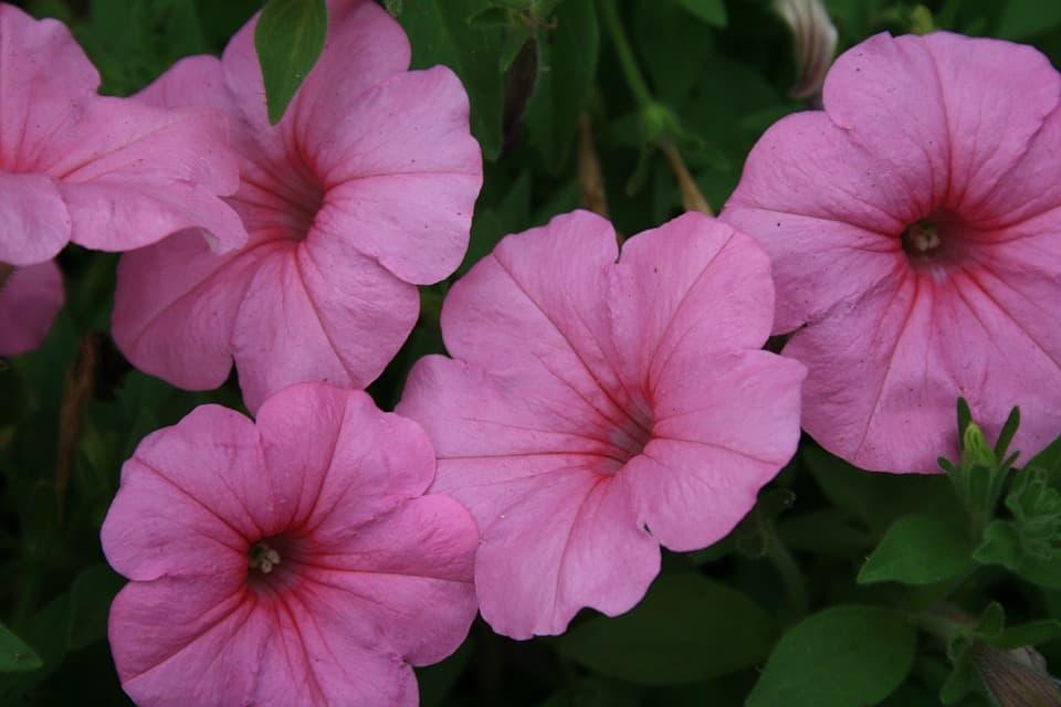 Пкетуния Лавина розовая