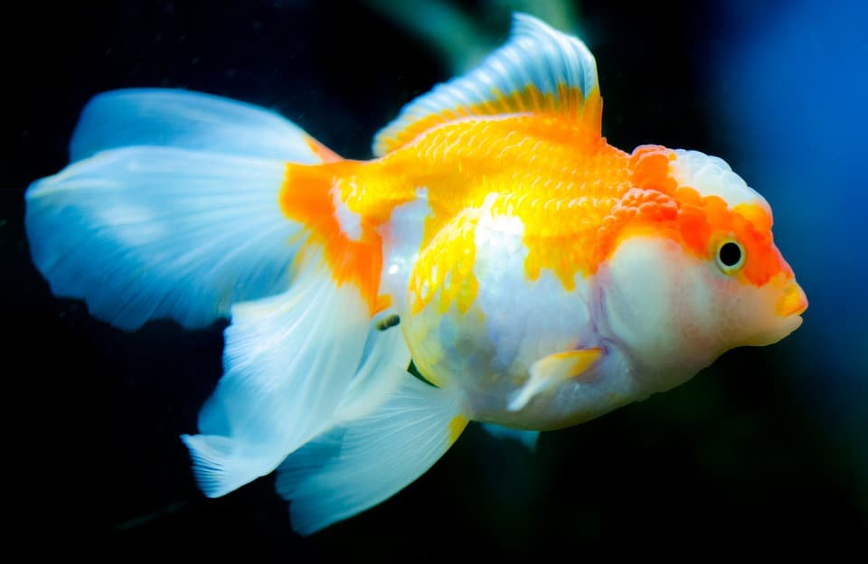 Рыбка золотая с гребешком