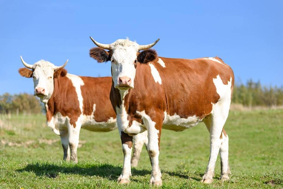 препарат для защиты крупного рогатого  скота от насекомых
