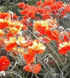 Семена цветов, трав, саженцы